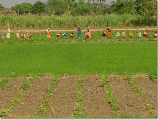 Indian women-Field